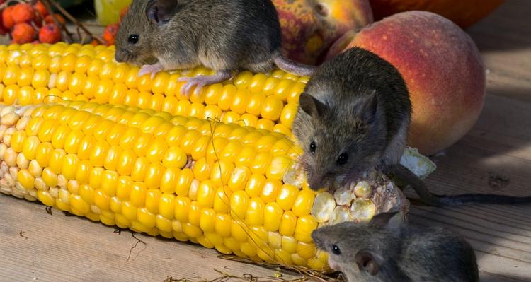 台南防老鼠、除老鼠、抓老鼠